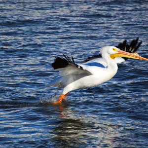 Pelican on Mississippi